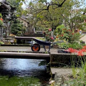 醒ヶ井地蔵川の「梅花藻」(米原市)