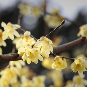 「蝋梅」の季節(近江八幡市)