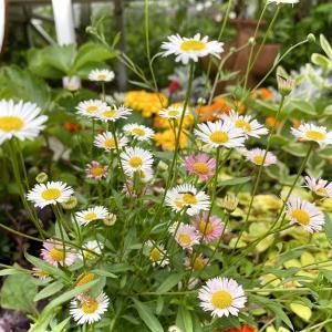 ガーデンの小花、エリゲロン