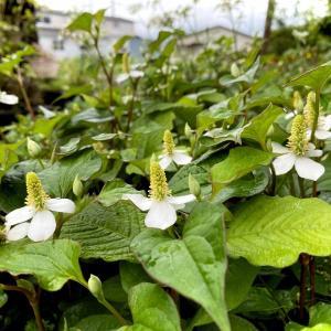 しつこい雑草、ドクダミの白い花