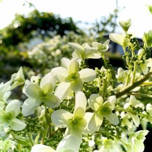 咲きかけた「柏葉アジサイ」