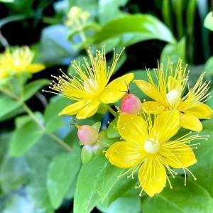 「ヒペリカム」の花と実