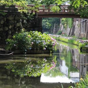 「紫陽花、菖蒲」咲く八幡堀(近江八幡市)