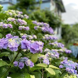 紫陽花に癒やされて