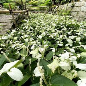 「半夏生」広がる庭園(守山市)