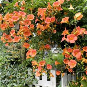満開「ノウゼンカズラの花」