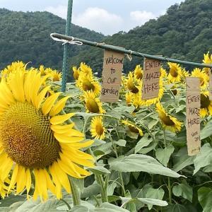 ひまわり畑(近江八幡市大中)