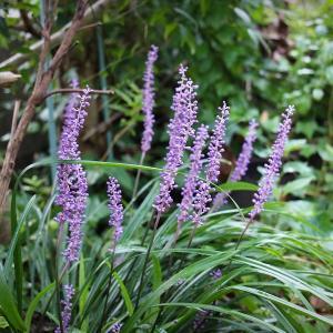 秋は紫、ヤブランの花