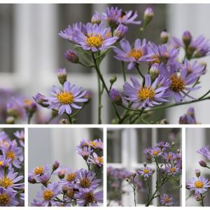 紫苑(しおん)の花