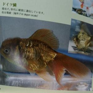 金魚さんは鱗が大変