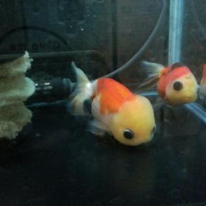 金魚さんを眺めていれば