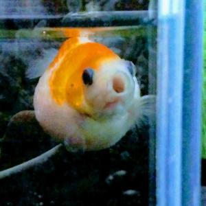 金魚さんを眺める生活
