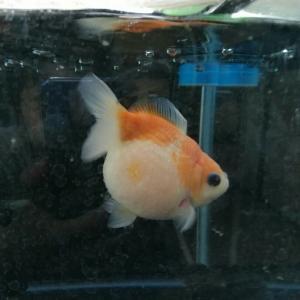 愛知の夏は金魚さんと水遊び♪