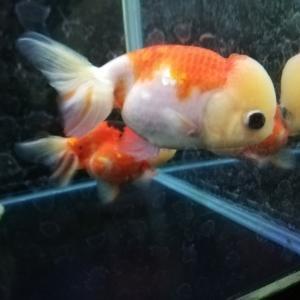 金魚さんのほっぺにデキモノが‥