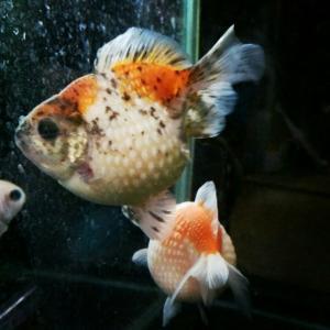 金魚さんの色はいろいろ