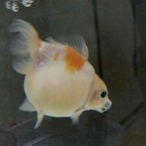 粘り強く生きる金魚さん