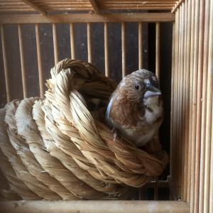 鳥と生活 / ツボ巣と十姉妹のシッポ