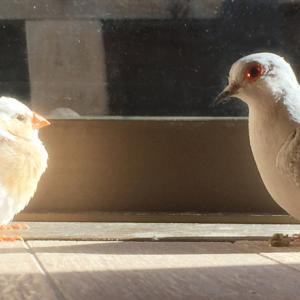 鳥と生活 / 床ぐらしのキンカチョウ
