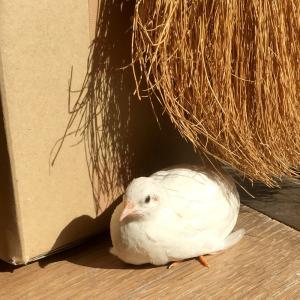 鳥と生活 / ヒメウズラの 「千代丸と瓜乃」成長記録・完結編
