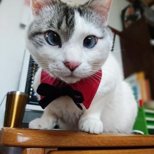 付け襟が似合う猫