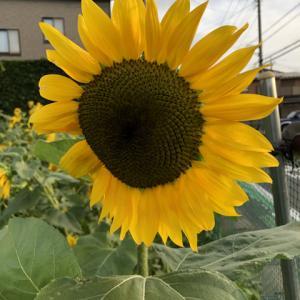 向日葵畑。