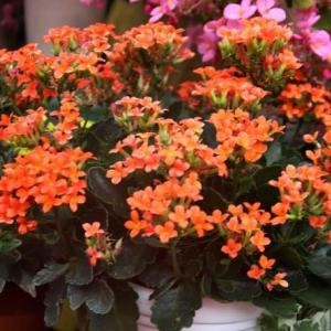 冬の鉢花展(広島)