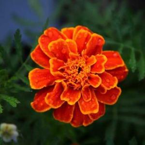 今朝の花 132(広島)