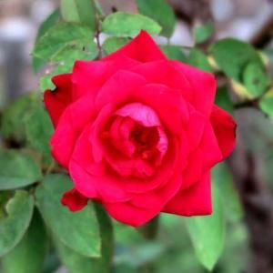 今朝の花 141(広島)