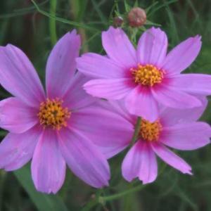今朝の花 165(広島)