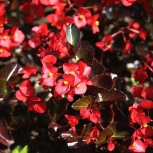 広島市植物公園・ベゴニア・・・