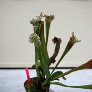 世界の食虫植物展・・・(広島)