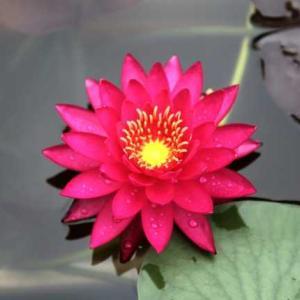 広島市植物公園・スイレン・・・
