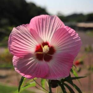 広島市植物公園・ハイビスカス 3 ・・・