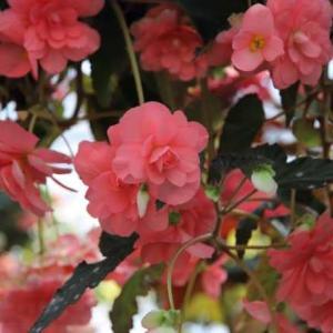 広島市植物公園・ベゴニア 2 ・・・