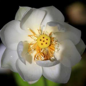 蓮の花(広島)