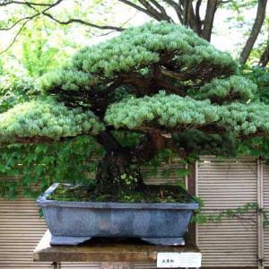 広島の盆栽
