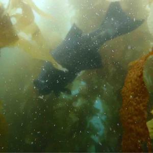 5月のカタリナ上陸ツアー 幻の巨大魚現る🐟