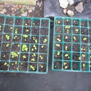白菜の種から発芽 家庭菜園の野菜
