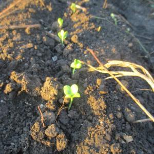 青首大根発芽 家庭菜園の野菜