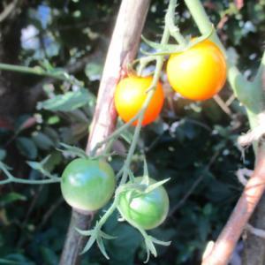 オレンジ色のミニトマト色づく 種から育てた苗