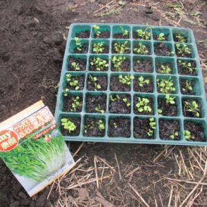 ビタミン菜と水菜の定植・種蒔き