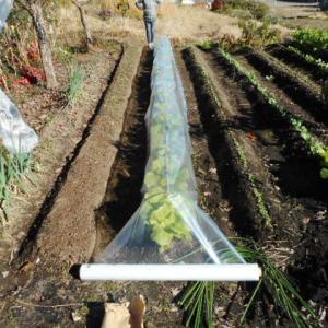 葉物野菜をトンネルで防寒対策|初冬の家庭菜園