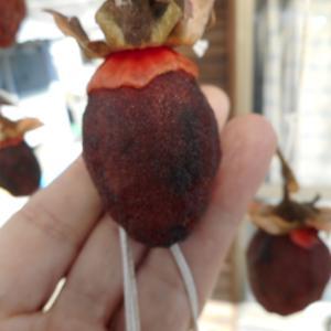 手作り干し柿を試食|青カビ発生