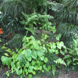 梅雨に映えるシュウカイドウ2020 草むしり4周目終了