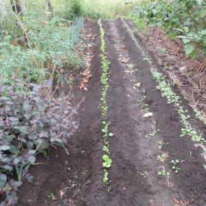 葉物野菜の苗を定植|自家製種