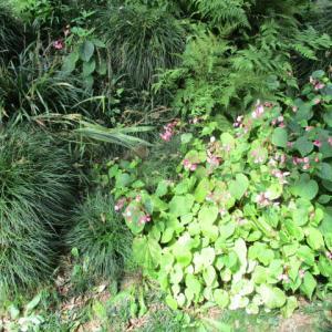 シュウカイドウ開花中 季節は秋