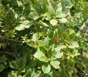 ベニサラサドウダンの葉