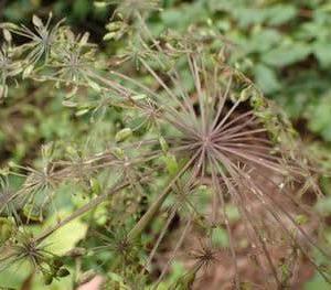 アマニュウの花序