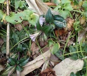 テングノコヅチの花