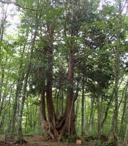 ネズコ 大木